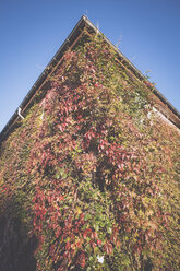 Germany, Hamburg, Jenischpark, Ivy growing on wall - MSF003767