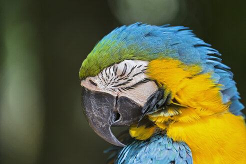 Brazil, portrait of blue and yellow macaw - FOF006495