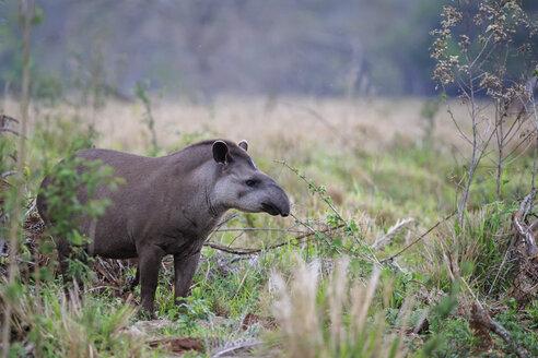 South America, Brasilia, Mato Grosso do Sul, Pantanal, Brazilian tapir, Tapirus terrestris - FOF006524