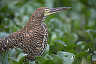 South America, Brasilia, Mato Grosso do Sul, Pantanal, Rufescent Tiger Heron, Tigrisoma lineatum, young animal - FOF006535