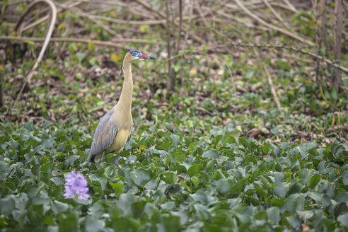 South America, Brasilia, Mato Grosso do Sul, Pantanal, Whistling Heron, Syrigma sibilatrix - FOF006548