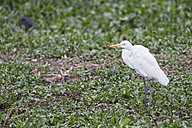 South America, Brasilia, Mato Grosso do Sul, Pantanal, Great white egret, Ardea alba - FOF006550