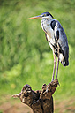 South America, Brasilia, Mato Grosso do Sul, Pantanal, Cocoi Heron, Ardea cocoi - FOF006569