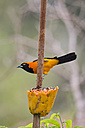 South America, Brasilia, Mato Grosso do Sul, Pantanal, Orange-backed Troupial, Icterus croconotus - FOF006571