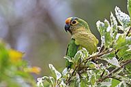 South America, Brasilia, Mato Grosso do Sul, Pantanal, Peach-fronted Parakeets, Aratinga aurea - FO006578