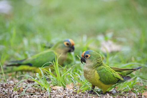 South America, Brasilia, Mato Grosso do Sul, Pantanal, Peach-fronted Parakeets, Aratinga aurea - FOF006580