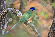 South America, Brasilia, Mato Grosso do Sul, Pantanal, Blue-crowned Motmot, Momotus momota - FOF006583