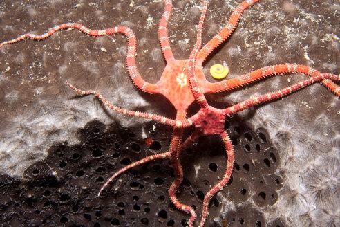 Caribbean, Antilles, Curacao, Westpunt, Ruby Brittle Stars, Ophioderma rubicundum - YRF000033