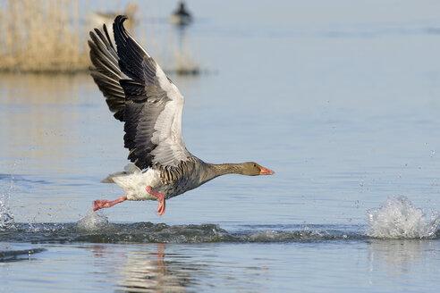Germany, Schleswig-Holstein, Grey goose, Anser anser - HACF000008