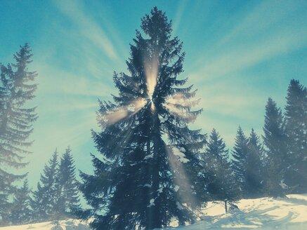 Germany, Bavaria, Sudelfeld, sun rays breaking through a spruce - BRF000240