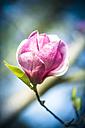 Pink magnolia blossom - SARF000482