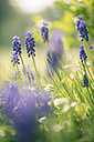 Grape hyacinths - SARF000481