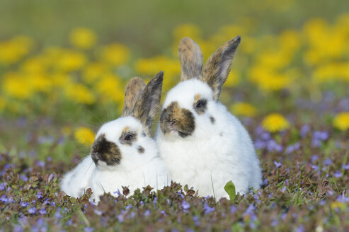 Two baby rabbits sitting on flower meadow - RUEF001231