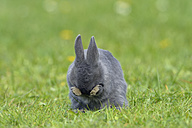Grey baby rabbit cleaning his face on flower meadow - RUEF001227