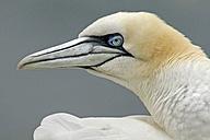 Germany, Schleswig-Holstein, Hegoland, northern gannet - HACF000025