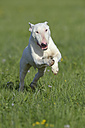 Bull terrier running on meadow - RUEF001226