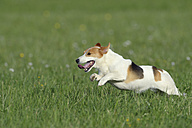 Jack Russel terrier running on meadow - RUEF001224
