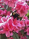 bumblebee (Bombus) on pink flower - FBF000344