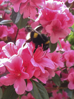 bumblebee (Bombus) on pink flower - FBF000344