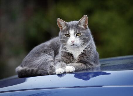 Cat lying on blue car bonnet - SLF000368