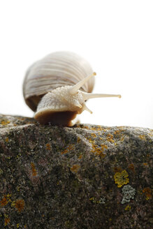 Edible snails on a stone - SLF000371