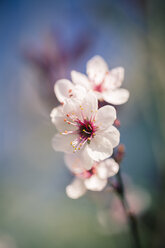 Blossoms of cherry tree - SARF000512