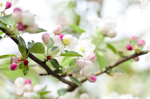 White and pink blossoms of apple tree - CZF000152