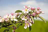 Germany, Hamburg, Area Altes Land, Apple blossoms, Malus domestica, in spring - KRPF000446