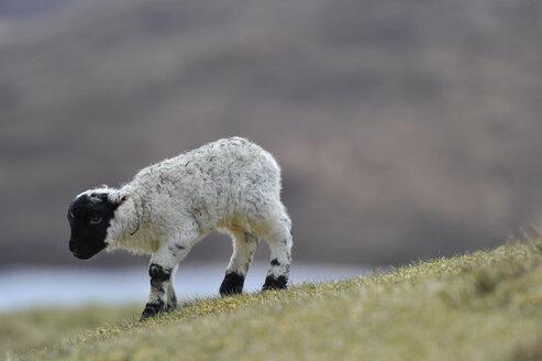 UK, Scotland, Sheep in landscape - FDF000019