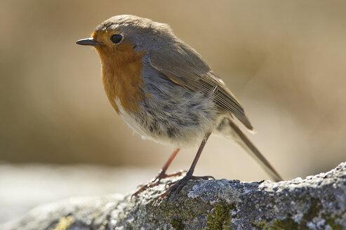 UK, Scotland, Robin perching on branch - FDF000029