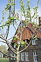 Germany, North Rhine-Westphalia, Petershagen, Apple tree with buds with a traditional Westphalian farmhouse in the background. - HAWF000133