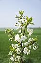 Germany, North Rhine-Westphalia, Blossoms of a cherry tree - HAWF000135
