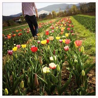 Tulip field near Freiburg im Breisgau, Baden-Wuerttemberg, Germany - DHL000408