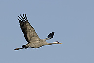 Germany, Mecklenburg-Western Pomerania, Common crane, Grus grus, flying - HACF000057