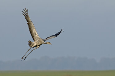 Germany, Mecklenburg-Western Pomerania, Common crane, Grus grus, flying, young animal - HACF000060