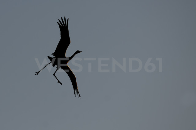Germany, Mecklenburg-Western Pomerania, Common crane, Grus grus, flying - HACF000062