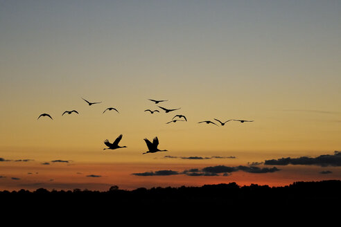 Germany, Mecklenburg-Western Pomerania, Common cranes, Grus grus, flying at sunrise - HACF000065