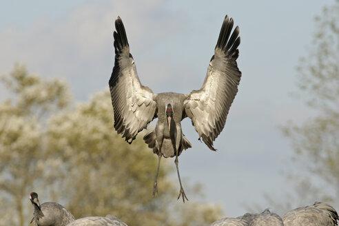 Germany, Mecklenburg-Western Pomerania, Common crane, Grus grus, flying - HACF000066