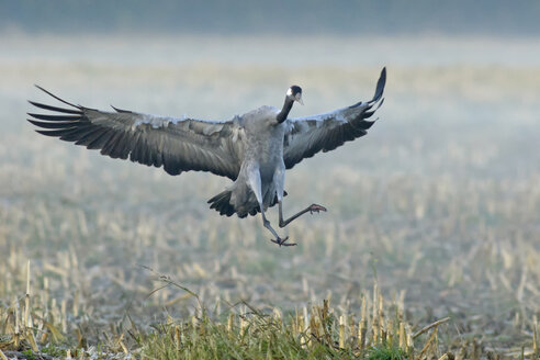 Germany, Mecklenburg-Western Pomerania, Common crane, Grus grus, flying - HACF000069