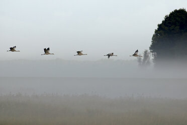 Germany, Mecklenburg-Western Pomerania, Common cranes, Grus grus, flying - HACF000050