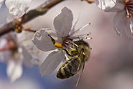 Germany, Bavaria, Honey bee, Apis, collecting pollen from flowers - YFF000109