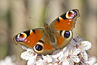 Germany, Bavaria, European Peacock, Inachis io, close up - YFF000111