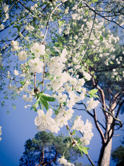 Spring, flowers, sun, flowering trees, Saxony, Germany, Cherry Blossom - MJF001026