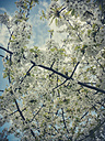Spring, fruit trees, Saxony, Germany, pear tree, pear blossom, Pyrus - MJF001056