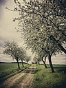 Apple tree, apple blossom, spring, Saxony, Germany - MJF001048