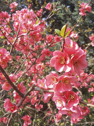 Blossom, Spring, Bush, Saxony, Germany, Japanese Quince, Chaenomeles - MJF001041