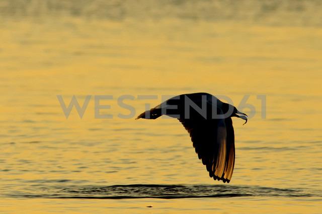 Germany, Mecklenburg-Western Pomerania, Seagull, Laridae, at sunset - HACF000071