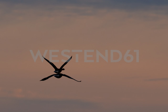 Germany, Schleswig-Holstein, Grey geese, Anser anser, at sunset - HACF000074