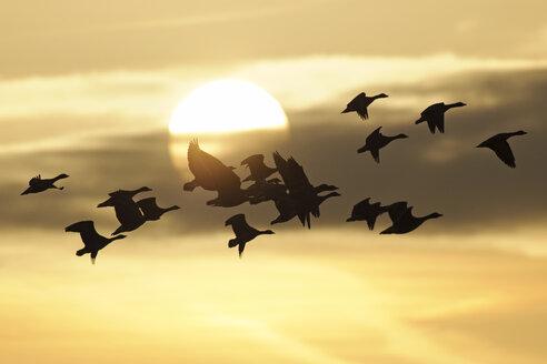 Germany, Mecklenburg-Western Pomerania, Grey geese, Anser anser, at sunset - HACF000082