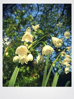 Spring snowflake (Leucojum vernum), Spring, Germany, North Rhine-Westphalia, Minden - HOHF000741